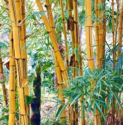 Extienden siembra de Bambú