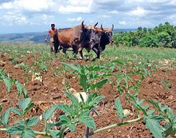 En Villa Clara, más tierras dedicadas a la producción